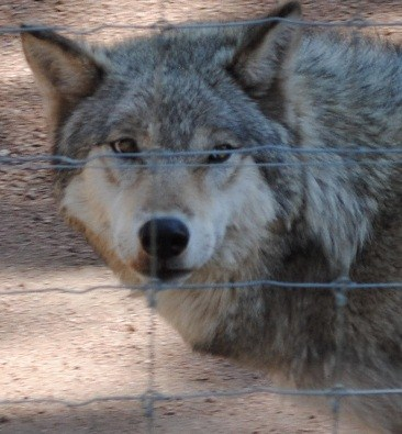 One of the wolves at the Colorado Wolf and Wildlife Conservation Center, in Divide, Colorado.